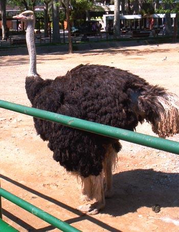 Foto 4. Del avestruz macho. Zoológico de Barcelona. Foto. J. L. López