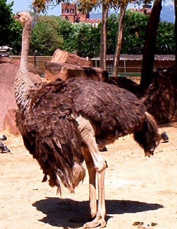 Foto 5. Los avestruces hembras tiene las plumas más pardas y, en general, menos lucidas. Zoológico de Barcelona. Foto J. L. López
