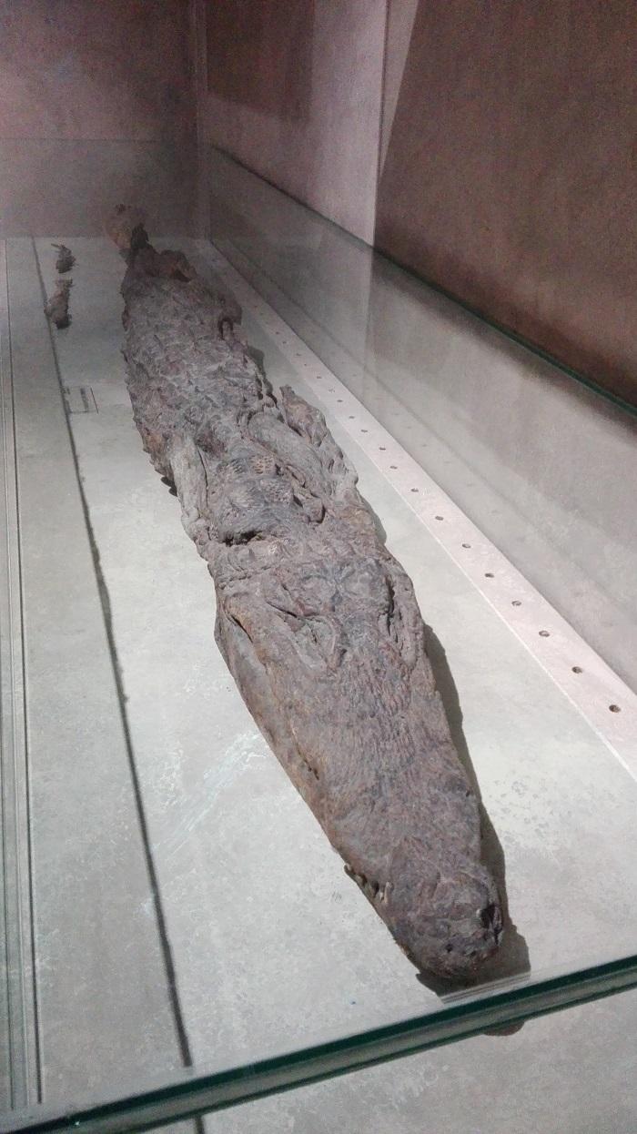 17-Momia de cocodrilo copia